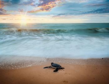 Sea Turtle Destin West Okaloosa Island